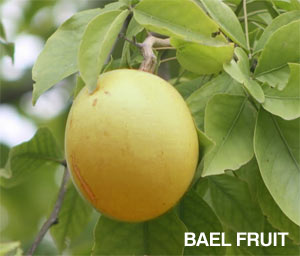 research paper on bael fruit Bael information based on scientific evidence includes description, drug interactions, safety concerns, and effectiveness how does bael work early research suggests that taking dried bael fruit powder for 3 days does not reduce the number of stools in people with diarrhea caused by an infection called shigellosis.