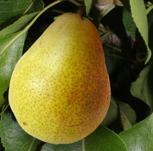 Benefits and uses of pear fruit