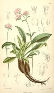 Nardostachys grandiflora-jatamansi benefits-Spikenard herb uses
