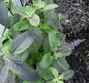 Tulsi herb benefits