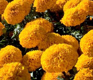 Marigold flowers benefits